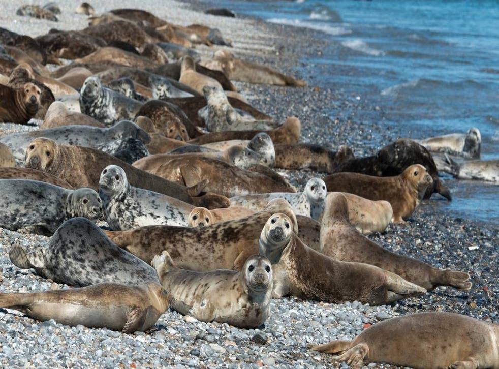 Grey seals on the beach on Coquet Island