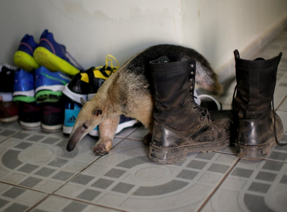 An anteater walks among shoes at veterinarian Marcelo Andreani's house, where it's receiving treatment. The anteater arrived with a broken left paw after a clash with a fierce porcupine