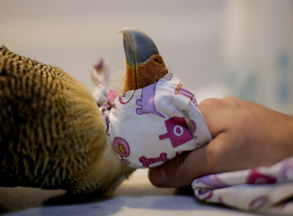 Veterinarian Carlos Henrique cares for a Caracara hawk with symptoms of food infection at the Clinidog veterinary clinic