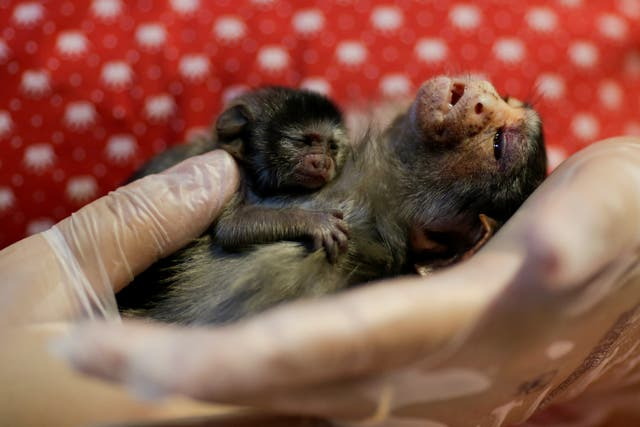 Xita, a Rondon's marmoset, who was rescued by the state environmental police after giving birth, at Clinidog veterinary clinic, in Porto Velho, Brazil