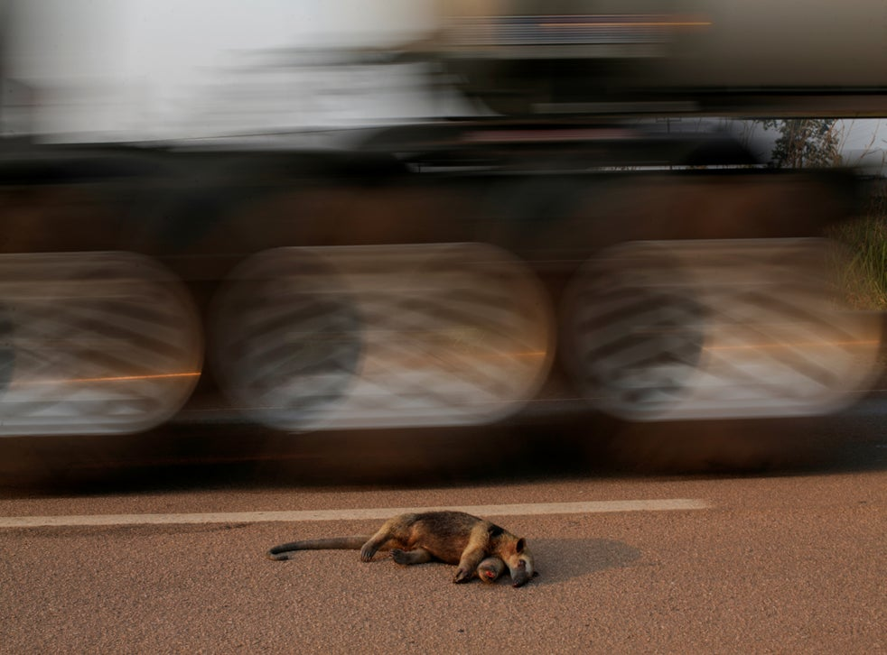 A dead anteater lies on the road near the burning tract of the Amazon jungle, near Mirante do Norte, Rondonia