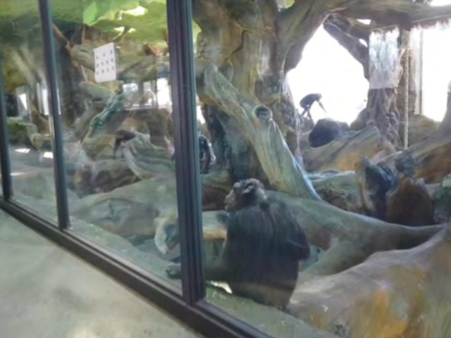 Chimpanzees in a glass-fronted enclosure after being exported from South Africa to a wildlife park in Beijing, China