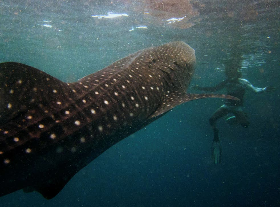 A snorkeler swims with a six-metre-long whale shark in the Maldives' remote Baa Atoll,