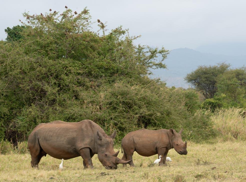 Rhinos in Kenya's Meru National Park Rhino Sanctuary