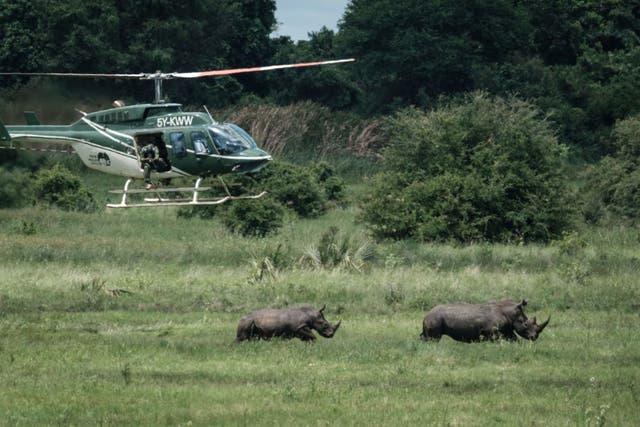 Rinocerontes en el Santuario de Rinocerontes del Parque Nacional Meru de Kenia.