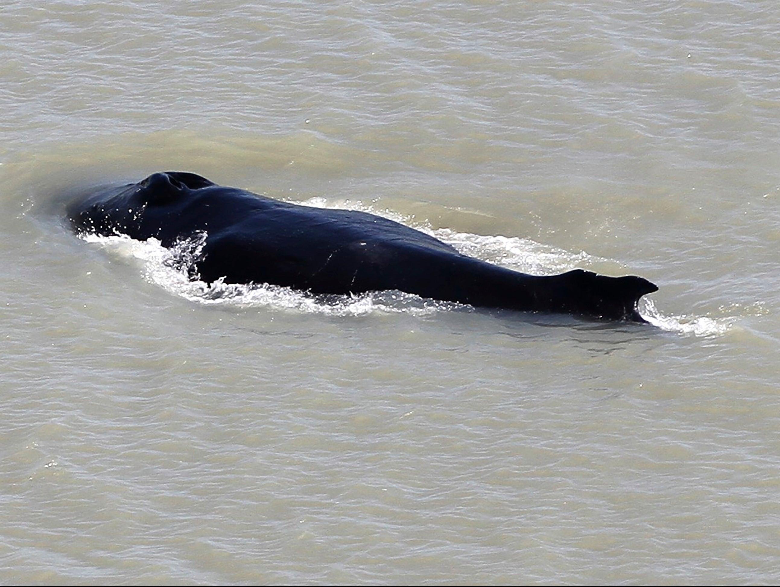 Humpback Whale Escapes Crocodile-Infested River in Australia