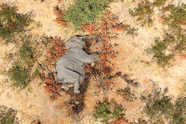 El cadáver de uno de los muchos elefantes que han muerto misteriosamente en el delta del Okavango en Botswana