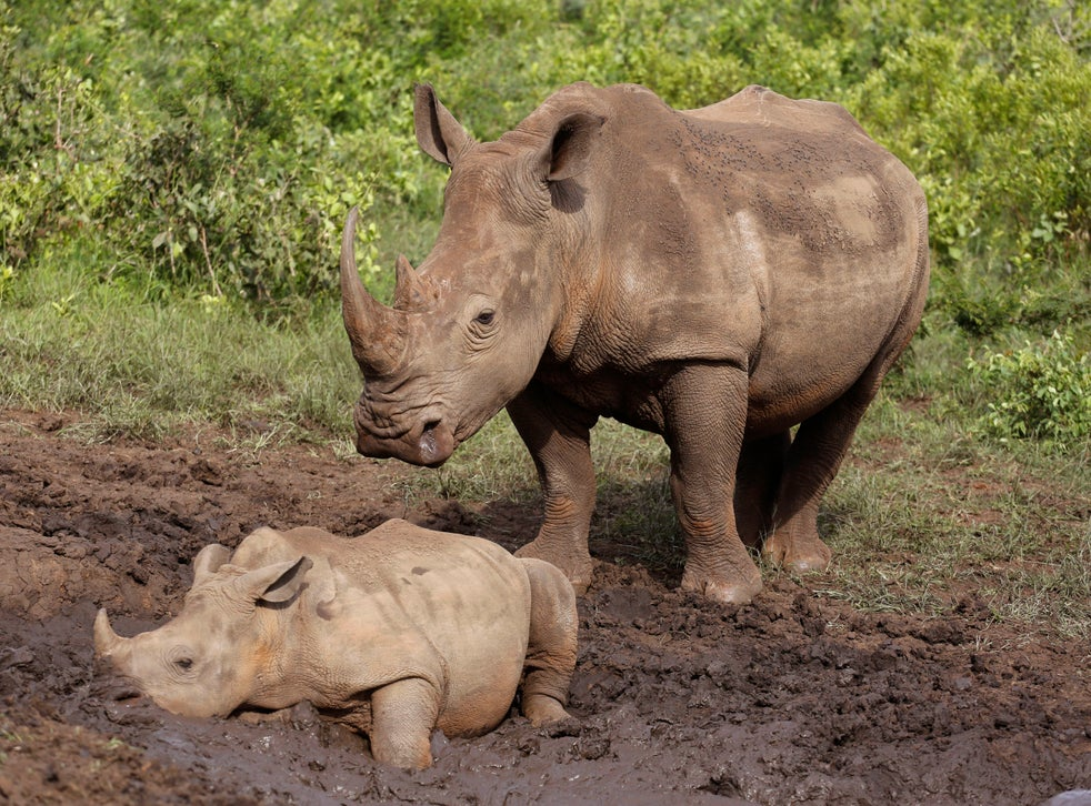 Endangered White Rhino | Foundation for Biomedical Research