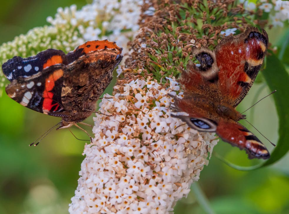 A Peacock butterfly (right) and a Red Admiral on a buddleia bush. Both species are under increasing threat from a warming climate and habitat loss