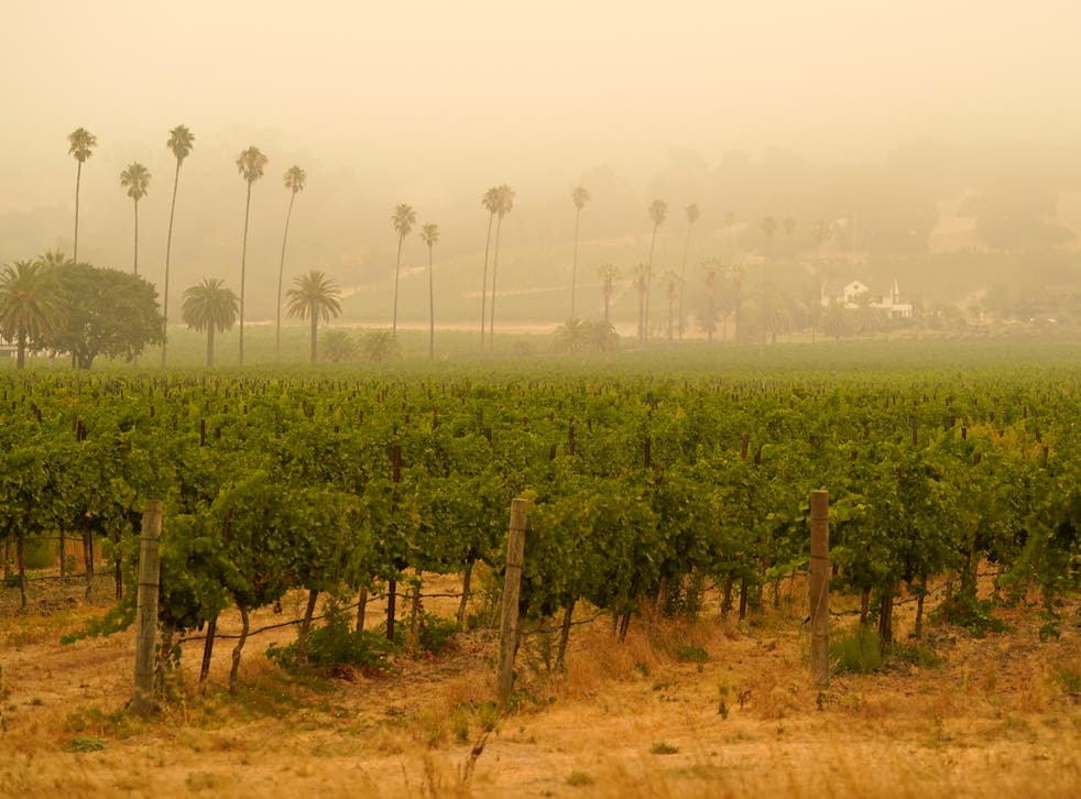 Wine region facing disaster as west coast vineyards tainted with taste of  wildfire smoke | The Independent