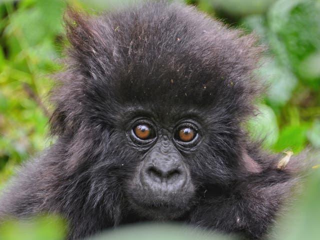 Dos docenas de bebés gorilas de montaña fueron nombrados para celebrar el Día Mundial del Gorila por los guardabosques que los protegen.
