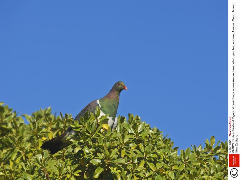 La paloma también conocida como kererū, se posa en un árbol en Akaroa en la Isla Sur de Nueva Zelanda.
