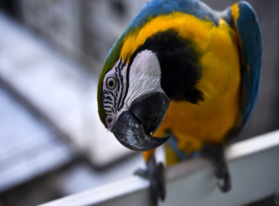 Guacamaya azul y amarilla.