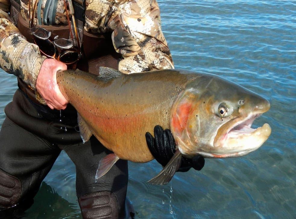 Trout Restoration-Nevada Dam