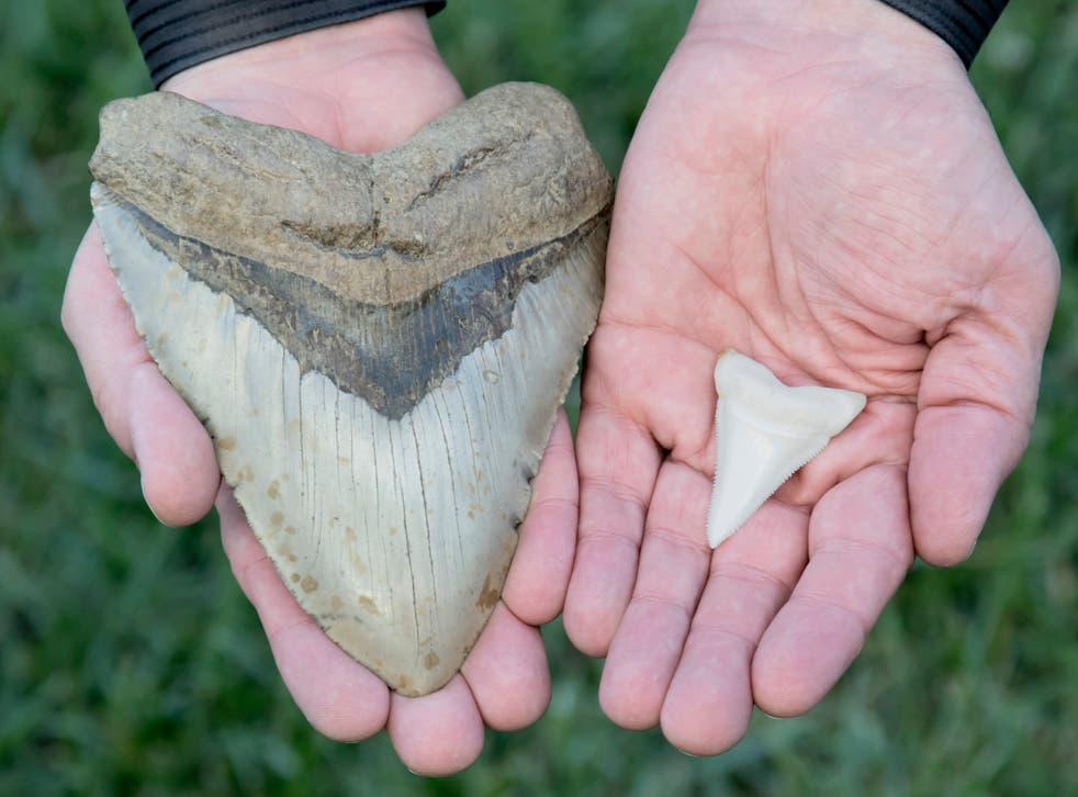 Un diente de megalodón de 6 pulgadas junto a un gran diente de tiburón blanco de dos pulgadas