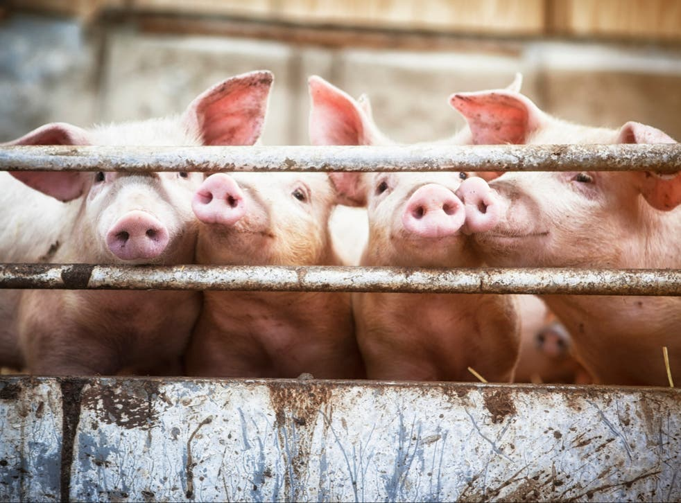 A number of mammals, including farm animals such as pigs, horses and sheep, may be susceptible to contracting Covid-19