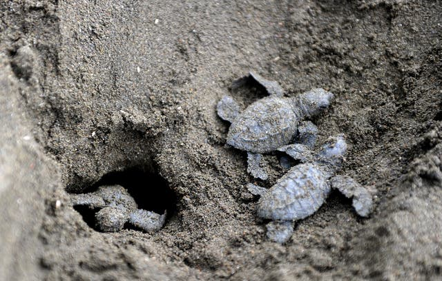 File photo shows baby sea turtles leaving their nest in Ostional National Wildlife Refuge, north of San Jose, Costa Rica