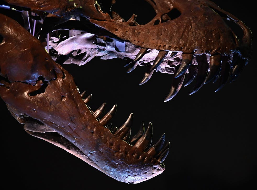 The T Rex, named Stan, on display during a press preview at Christie's Rockefeller Centre in New York