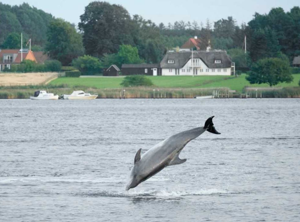 Feel the Force: Yoda the dolphin leaps into the air