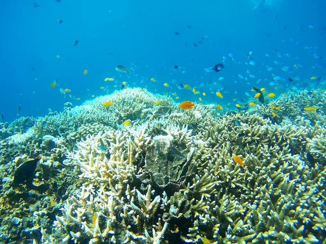 The once brightly hued coral has turned a pale grey due to coral bleaching caused by high temperatures