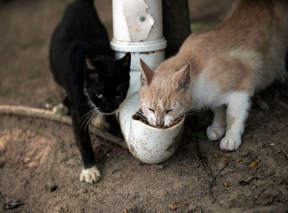 Brazil Cat Island