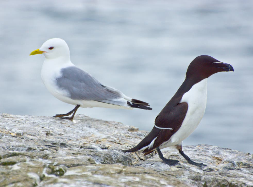 A kittwake and a razorbill. Kittwake numbers in the UK have fallen by more than three quarters in just 30 years