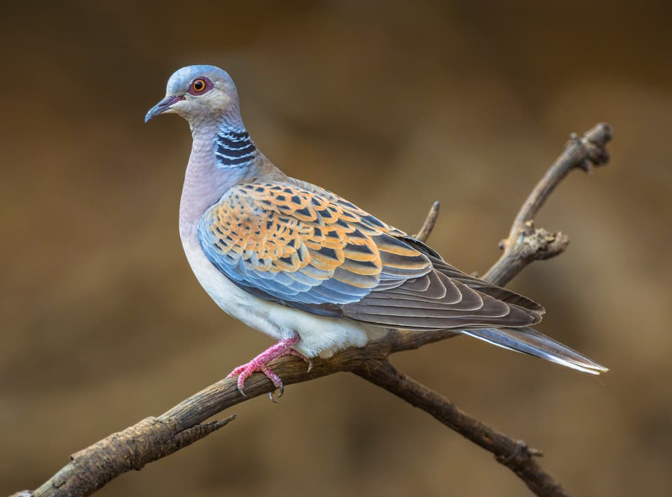 A turtle dove is now a rare sight in the UK. Overall, farmland birds have declined by 55% since 1970
