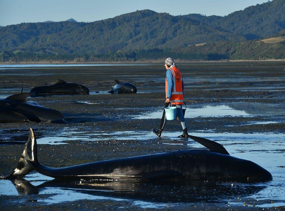 La manada de ballenas piloto quedó varada en la península Coromandel de la Isla Norte.