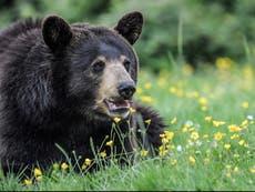 Mujer iría a prisión por seis meses tras grabar TikTok donde alimenta a un oso negro