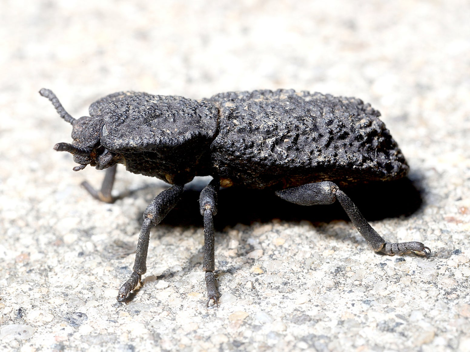 Scientists reveal how diabolical ironclad beetle can survive being run over by car