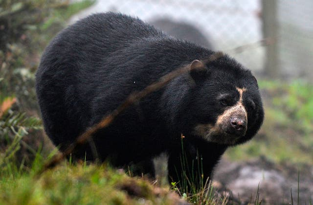 Andean bears are among the wildlife already under threat in Ecuador