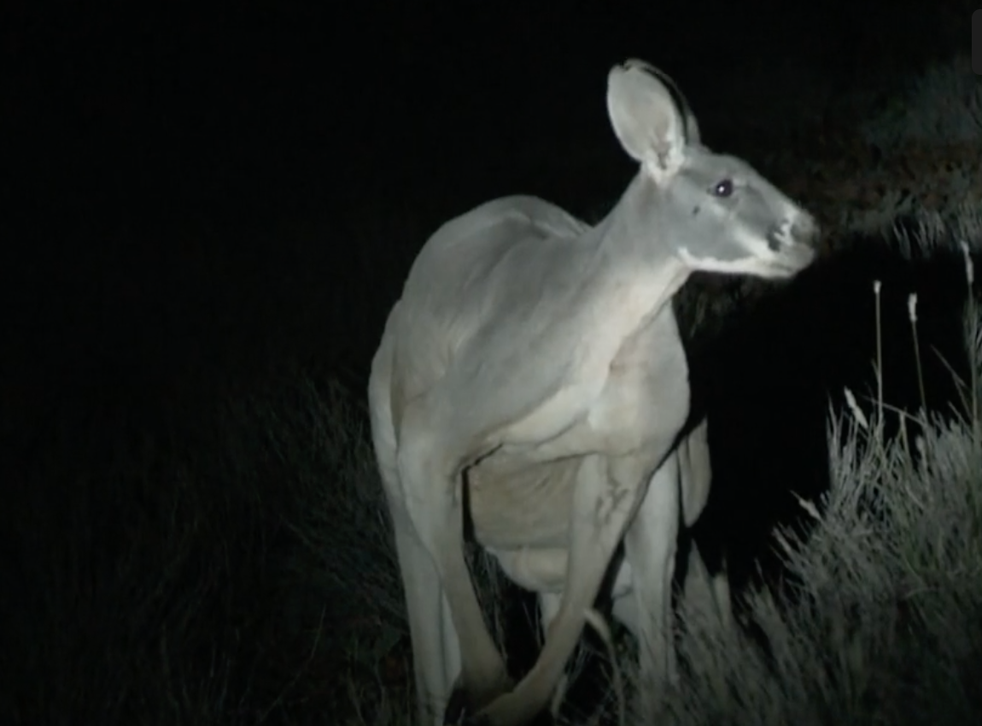 The Australian Society for Kangaroos says numbers have been in dangerous decline for years