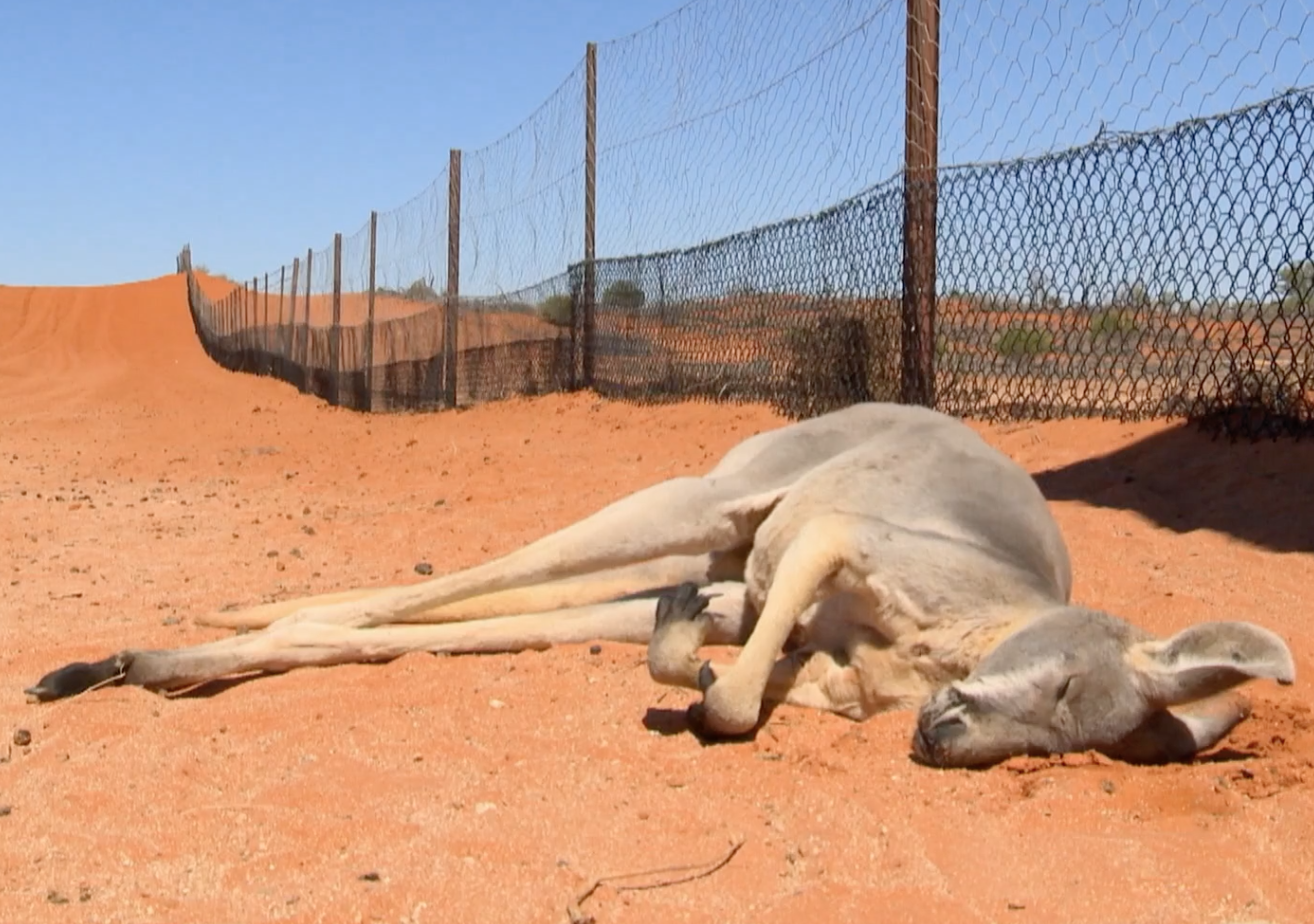 'Like a war zone': The multimillion-dollar industry killing off Australia's kangaroos
