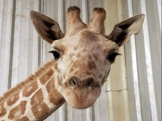 April the Giraffe's youngest calf dies at Texas zoo