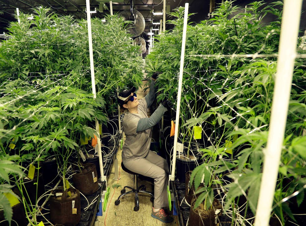<p>FILE - In this March 22, 2019, file photo, Heather Randazzo, a grow employee at Compassionate Care Foundation's medical marijuana dispensary, trims leaves off marijuana plants in the company's grow house in Egg Harbor Township, N.J. </p>
