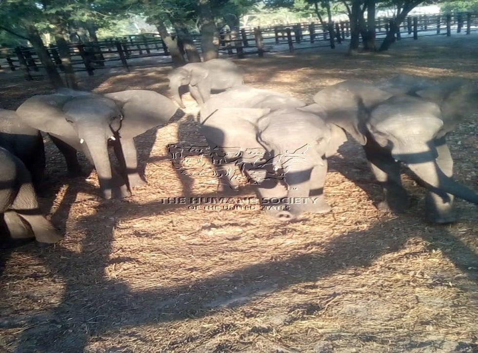 Más de 30 elefantes bebés de Zimbabwe fueron mantenidos en cuarentena a la espera de su distribución a parques de atracciones y otras instalaciones dentro de China.