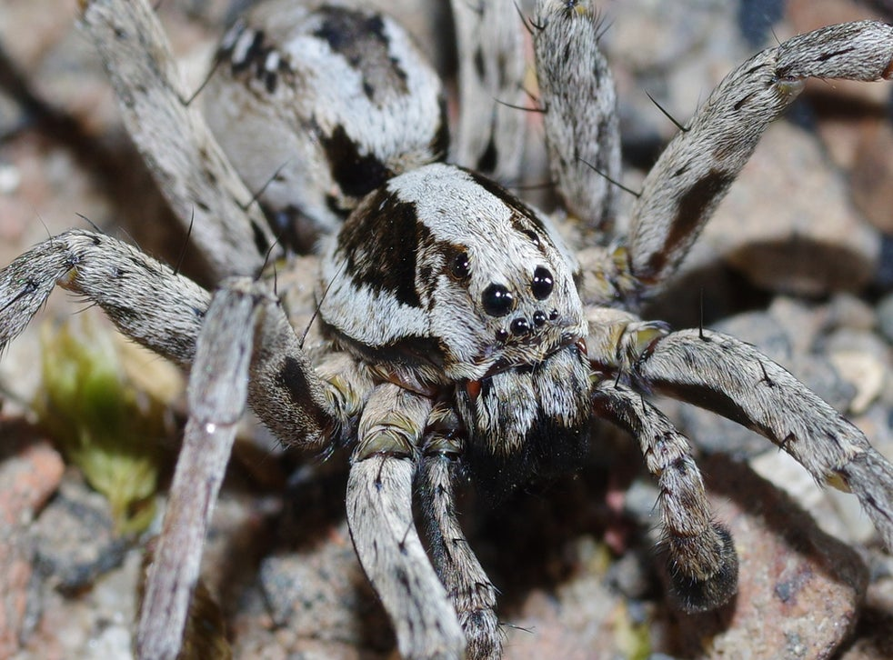 Huge Great Fox-Spider Assumed Extinct in Britain Discovered on Ministry of Defence Training Site
