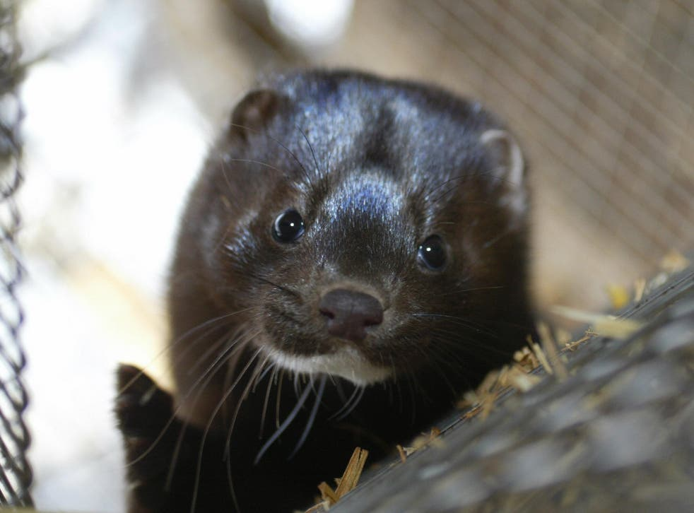 'Animals are confined to small wire cages on Danish fur farms for a trivial fashion that no one needs,' say opponents