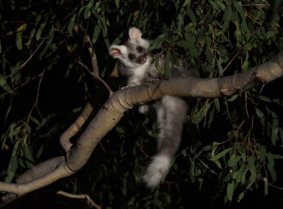 Planeador mayor en un árbol de eucalipto. Anteriormente se pensaba que solo había una especie de planeador, pero el análisis de ADN ha revelado que hay tres