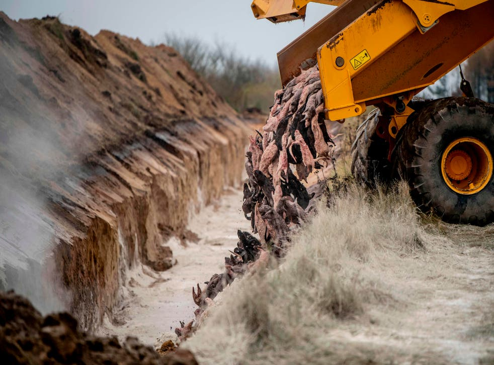 Mink carcasses are dumped into a mass grave in Holstebro, Denmark, on 9 November, 2020.