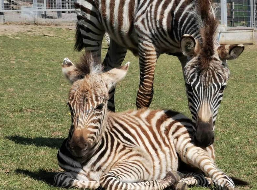 Hope the zebra with her mother in their enclosure at Noah's Ark Zoo Farm, Bristol