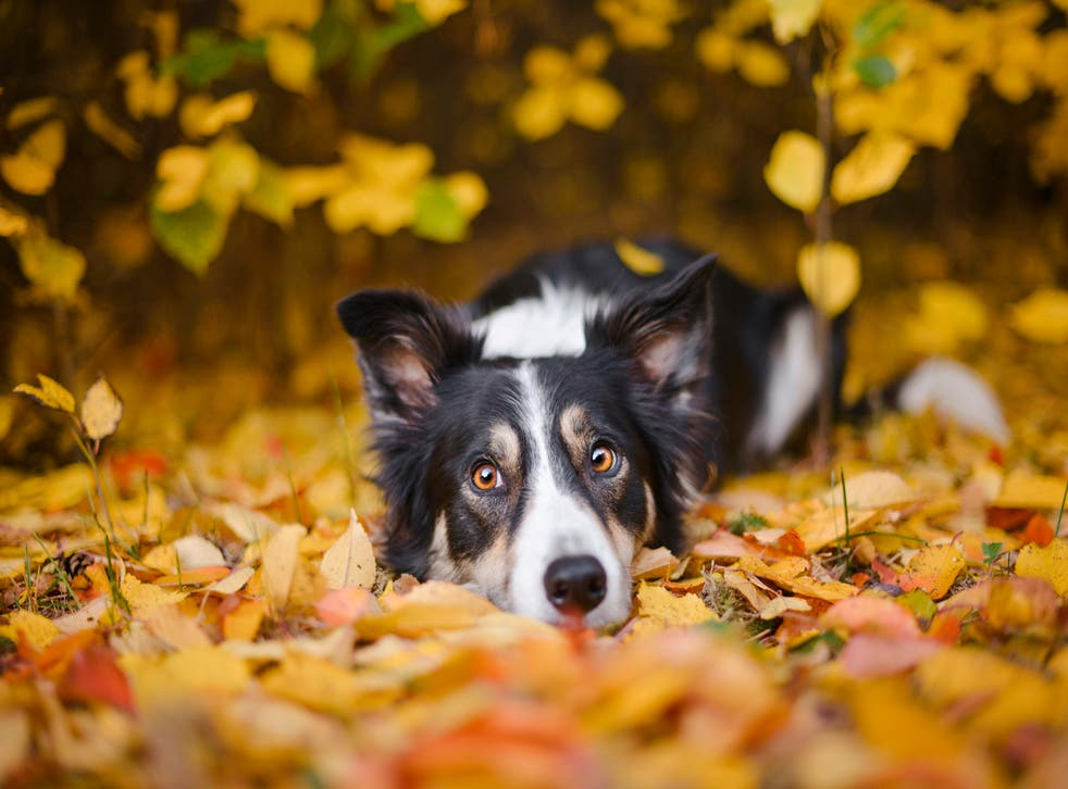 Border Collies are among the most intelligent dog breeds