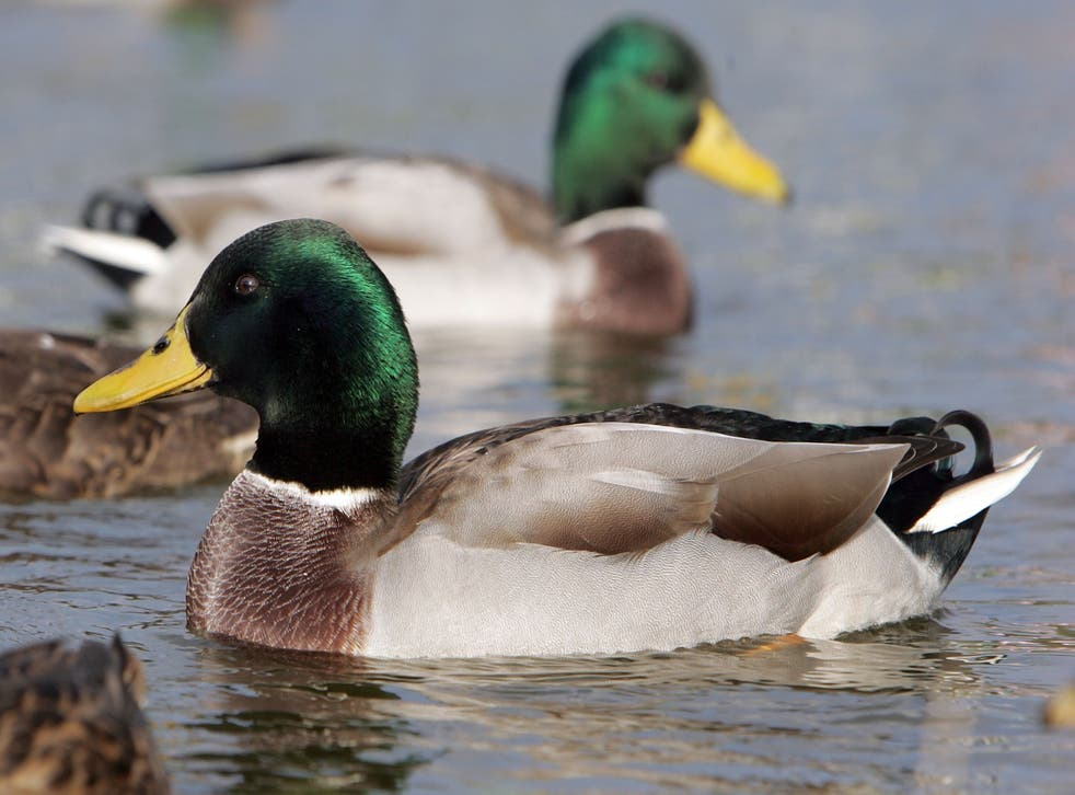 There have been a number of bird flu outbreaks in the UK in recent days (file picture of ducks)