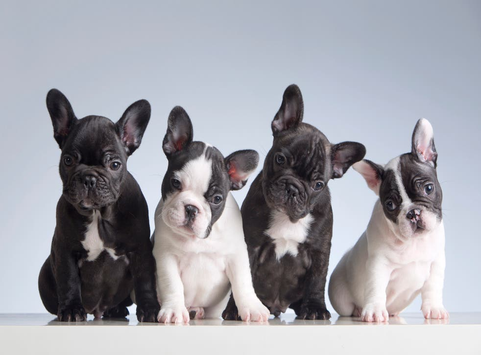 <p>Breed apart: the price of French bulldogs has shot up</p>