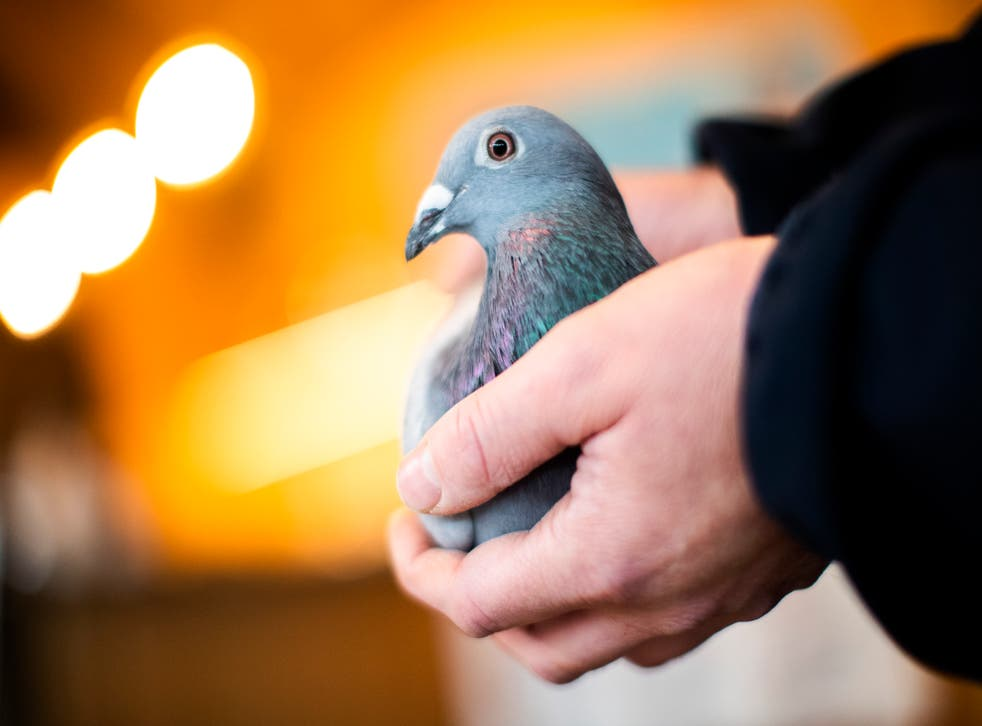 Belgium Record Pigeon