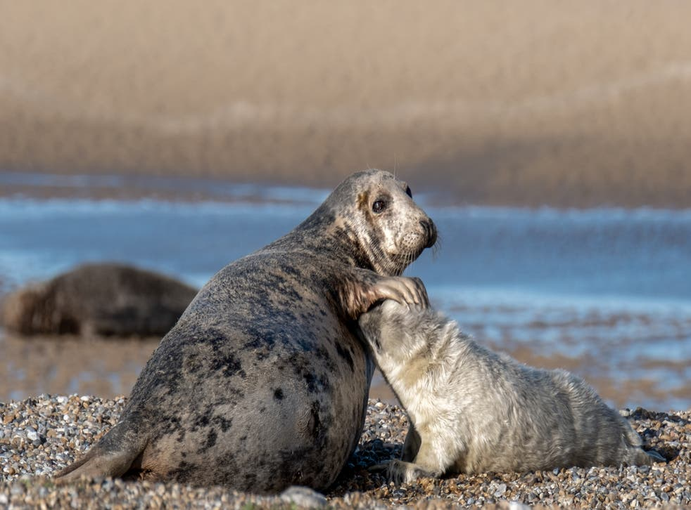Mother & pup at Blakeney Point, cared for by the National Trust