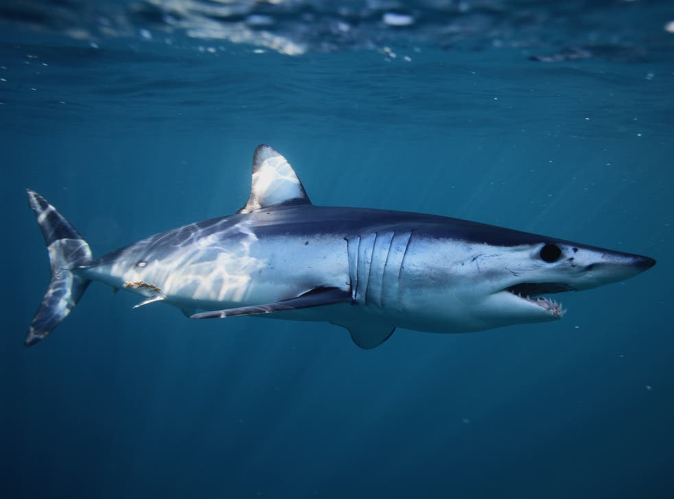 The shortfin mako shark can swim at up to 43mph and leap over 6m from the surface of the ocean
