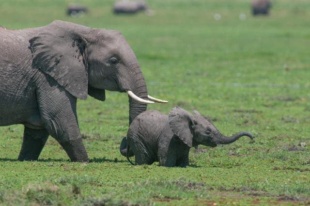 <p>Elephants in Kenya's Amboseli National Park</p>