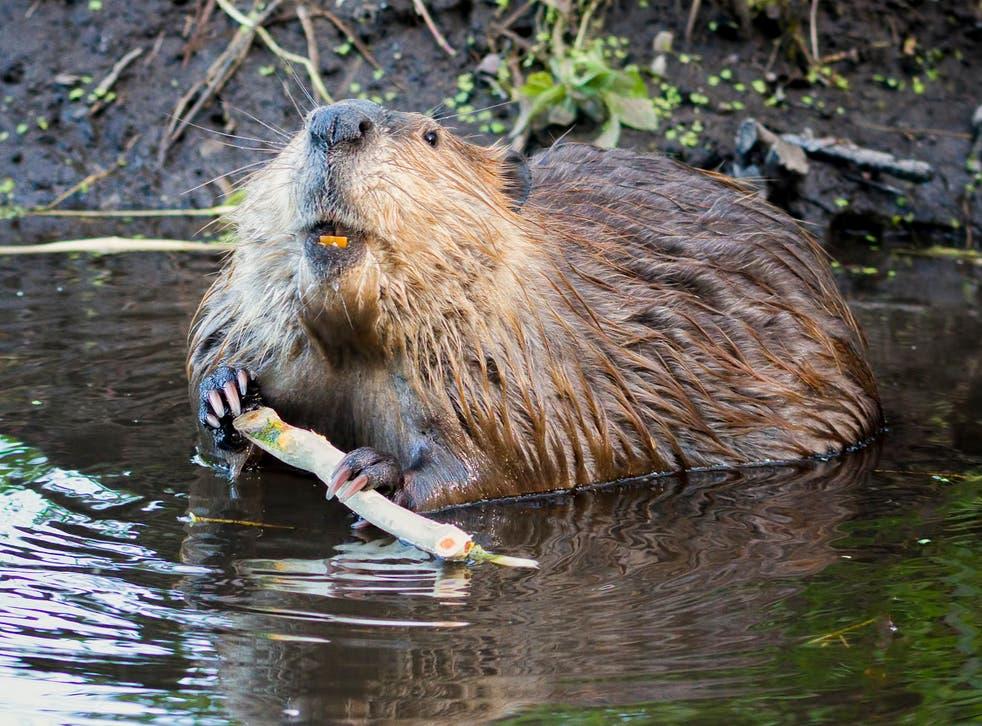 <p>The semi-aquatic rodents' dams benefit the environment</p>