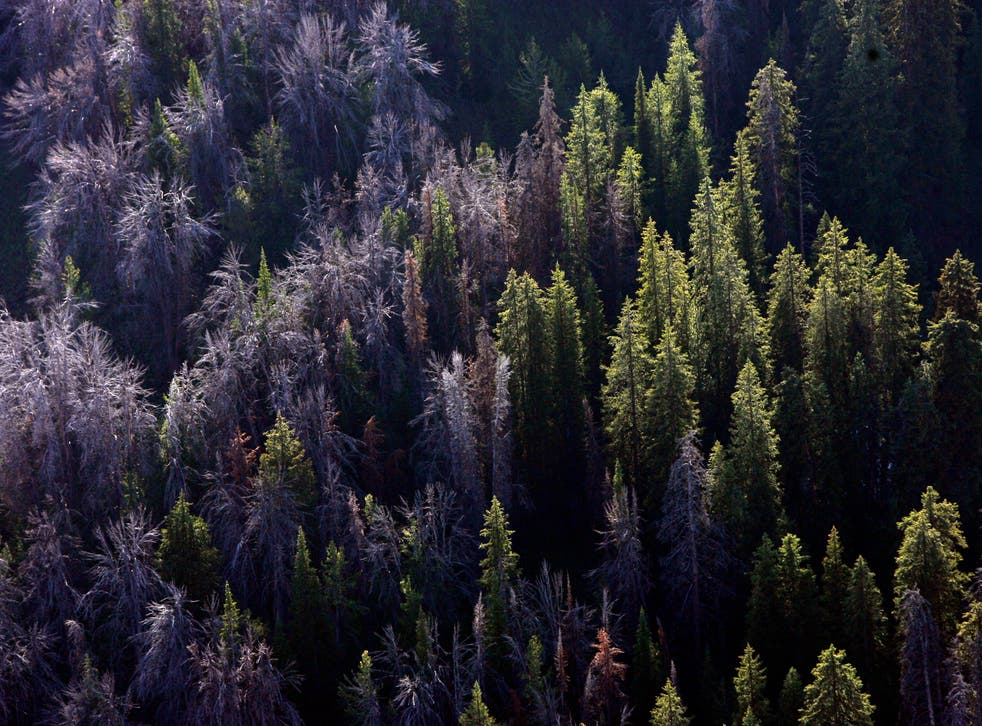 Threatened Pine Tree Grizzlies
